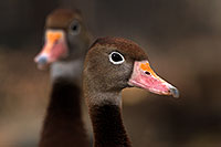 /images/133/2016-12-30-tuc-museum-ducks-1x2_1816.jpg - #13327: Black Bellied Whistling Ducks in Tucson … December 2016 -- Arizona-Sonora Desert Museum, Tucson, Arizona