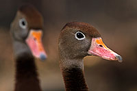 /images/133/2016-12-30-tuc-museum-ducks-1x2_1819.jpg - #13328: Black Bellied Whistling Ducks in Tucson … December 2016 -- Arizona-Sonora Desert Museum, Tucson, Arizona
