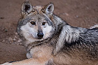 /images/133/2016-12-30-tuc-museum-wolf-1x2_2452.jpg - #13330: Female Mexican Wolf in Tucson … December 2016 -- Arizona-Sonora Desert Museum, Tucson, Arizona