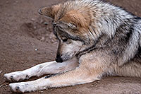 /images/133/2016-12-30-tuc-museum-wolf-1x2_2473.jpg - #13331: Female Mexican Wolf in Tucson … December 2016 -- Arizona-Sonora Desert Museum, Tucson, Arizona