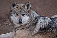 /images/133/2016-12-30-tuc-museum-wolf-1x2_2483.jpg - #13332: Female Mexican Wolf in Tucson … December 2016 -- Arizona-Sonora Desert Museum, Tucson, Arizona