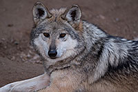 /images/133/2016-12-30-tuc-museum-wolf-1x2_2502.jpg - #13333: Female Mexican Wolf in Tucson … December 2016 -- Arizona-Sonora Desert Museum, Tucson, Arizona