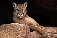 /images/133/2017-01-03-desert-puma-1x2_2576.jpg - #13341: Mountain Lion at Arizona Sonora Desert Museum … January 2017 -- Arizona-Sonora Desert Museum, Tucson, Arizona