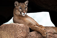 /images/133/2017-01-03-desert-puma-1x2_2577.jpg - #13343: Mountain Lion at Arizona Sonora Desert Museum … January 2017 -- Arizona-Sonora Desert Museum, Tucson, Arizona