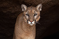 /images/133/2017-01-03-desert-puma-1x2_2653.jpg - #13345: Mountain Lion at Arizona Sonora Desert Museum … January 2017 -- Arizona-Sonora Desert Museum, Tucson, Arizona