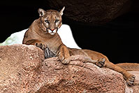/images/133/2017-01-03-desert-puma-1x2_2681.jpg - #13347: Mountain Lion at Arizona Sonora Desert Museum … January 2017 -- Arizona-Sonora Desert Museum, Tucson, Arizona