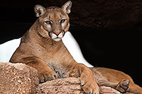 /images/133/2017-01-03-desert-puma-1x2_2693.jpg - #13349: Mountain Lion at Arizona Sonora Desert Museum … January 2017 -- Arizona-Sonora Desert Museum, Tucson, Arizona