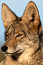/images/133/2017-01-04-museum-coyotes-1x2_3249v.jpg - #13358: Coyote at Arizona Sonora Desert Museum … January 2017 -- Arizona-Sonora Desert Museum, Tucson, Arizona