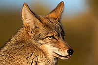 /images/133/2017-01-04-museum-coyotes-1x2_3256.jpg - #13365: Coyote in Tucson … January 2017 -- Arizona-Sonora Desert Museum, Tucson, Arizona