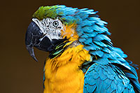 /images/133/2017-01-05-tuc-zoo-gold-macaw-1x2_3316.jpg - Birds > Blue-and-Gold Macaws