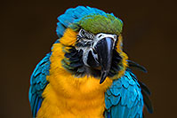 /images/133/2017-01-05-tuc-zoo-gold-macaw-1x2_3368.jpg - #13371: Blue-and-Gold Macaw in Tucson … January 2017 -- Reid Park Zoo, Tucson, Arizona