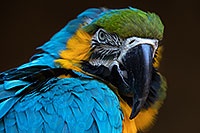 /images/133/2017-01-05-tuc-zoo-gold-macaw-1x2_3579.jpg - #13377: Blue-and-Gold Macaw in Tucson … January 2017 -- Reid Park Zoo, Tucson, Arizona