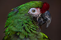 /images/133/2017-01-05-tuc-zoo-mil-macaw-1x2_4400.jpg - #13380: Military Macaw in Tucson … January 2017 -- Reid Park Zoo, Tucson, Arizona