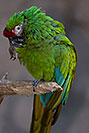 /images/133/2017-01-06-reid-mil-macaw-1x2_4471v.jpg - #13381: Military Macaw at Reid Zoo … January 2017 -- Reid Park Zoo, Tucson, Arizona