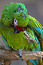 /images/133/2017-01-06-reid-mil-macaw-1x2_4647v.jpg - #13383: Military Macaw at Reid Zoo … January 2017 -- Reid Park Zoo, Tucson, Arizona