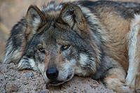 /images/133/2017-01-07-desert-wolf-1x2_9010.jpg - #13393: Mexican Wolf at Arizona Sonora Desert Museum … January 2017 -- Arizona-Sonora Desert Museum, Tucson, Arizona
