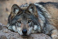 /images/133/2017-01-07-desert-wolf-1x2_9040.jpg - #13394: Mexican Wolf at Arizona Sonora Desert Museum … January 2017 -- Arizona-Sonora Desert Museum, Tucson, Arizona