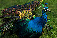/images/133/2017-01-08-reid-peacock-1x_34354.jpg - #13402: Peacock at Reid Park Zoo … January 2017 -- Reid Park Zoo, Tucson, Arizona