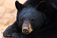 /images/133/2017-01-09-museum-bear-1x2_12556.jpg - 13420: Black Bear at Arizona Sonora Desert Museum … January 2017 -- Arizona-Sonora Desert Museum, Tucson, Arizona