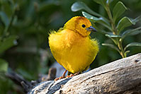 /images/133/2017-01-10-reid-birds-1x2_12773.jpg - #13435: Taveta Golden Weaver at Reid Park Zoo … February 2017 -- Reid Park Zoo, Tucson, Arizona