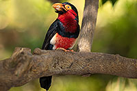 /images/133/2017-01-10-reid-birds-1x2_13507.jpg - #13436: Bearded Barbet at Reid Park Zoo … January 2017 -- Reid Park Zoo, Tucson, Arizona