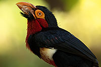 /images/133/2017-01-10-reid-birds-1x2_13881.jpg - #13437: Bearded Barbet at Reid Park Zoo … January 2017 -- Reid Park Zoo, Tucson, Arizona