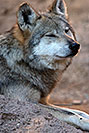 /images/133/2017-01-26-museum-wolves-5d4_0500v.jpg - #13541: Mexican Wolf at Arizona Sonora Desert Museum … January 2017 -- Arizona-Sonora Desert Museum, Tucson, Arizona
