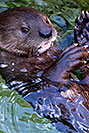 /images/133/2017-01-27-reid-otters-5d4_0837v.jpg - #13548: African Spotted Necked Otters at Reid Park Zoo … January 2017 -- Reid Park Zoo, Tucson, Arizona