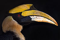 /images/133/2017-01-28-reid-hornbill-1x_35727.jpg - #13563: Great Hornbill at Reid Park Zoo … February 2017 -- Reid Park Zoo, Tucson, Arizona