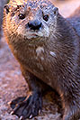 /images/133/2017-01-29-reid-otters-1x_36392v.jpg - #13578: African Spotted Necked Otter at Reid Park Zoo … January 2017 -- Reid Park Zoo, Tucson, Arizona