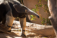 /images/133/2017-01-31-reid-anteaters-1x_36983.jpg - 13588: Giant Anteater at Reid Park Zoo … February 2017 -- Reid Park Zoo, Tucson, Arizona