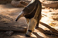 /images/133/2017-01-31-reid-anteaters-1x_37096.jpg - #13585: Giant Anteater at Reid Park Zoo … February 2017 -- Reid Park Zoo, Tucson, Arizona