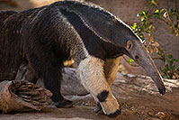 /images/133/2017-01-31-reid-anteaters-1x_37158.jpg - #13587: Giant Anteater at Reid Park Zoo … February 2017 -- Reid Park Zoo, Tucson, Arizona
