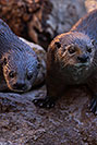 /images/133/2017-02-01-reid-otters-1x_37719v.jpg - #13593: African Spotted Necked Otters at Reid Park Zoo … February 2017 -- Reid Park Zoo, Tucson, Arizona