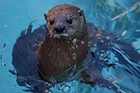 /images/133/2017-02-01-reid-otters-1x_37972.jpg - #13597: African Spotted Necked Otter at Reid Park Zoo … February 2017 -- Reid Park Zoo, Tucson, Arizona