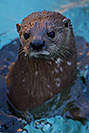 /images/133/2017-02-01-reid-otters-1x_37972v.jpg - #13597: African Spotted Necked Otter at Reid Park Zoo … February 2017 -- Reid Park Zoo, Tucson, Arizona