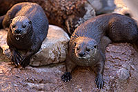 /images/133/2017-02-01-reid-otters-54-1x_37861.jpg - #13599: African Spotted Necked Otters (female on the left) at Reid Park Zoo … February 2017 -- Reid Park Zoo, Tucson, Arizona