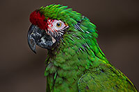 /images/133/2017-02-02-red-mil-macaw-1x_38633.jpg - #13607: Military Macaw at Reid Park Zoo … February 2017 -- Reid Park Zoo, Tucson, Arizona