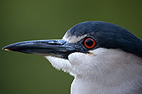 /images/133/2017-02-02-reid-night-heron-1x_39057.jpg - #13608: Black Crowned Night Heron at Reid Park Zoo … February 2017 -- Reid Park Zoo, Tucson, Arizona