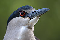 /images/133/2017-02-02-reid-night-heron-1x_39065.jpg - #13603: Black Crowned Night Heron at Reid Park Zoo … February 2017 -- Reid Park Zoo, Tucson, Arizona