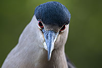 /images/133/2017-02-02-reid-night-heron-1x_39091.jpg - #13610: Black Crowned Night Heron at Reid Park Zoo … February 2017 -- Reid Park Zoo, Tucson, Arizona
