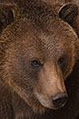 /images/133/2017-02-03-reid-grizzlies-1x_39305v.jpg - #13606: Grizzly Bear at Reid Park Zoo … February 2017 -- Reid Park Zoo, Tucson, Arizona