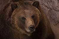 /images/133/2017-02-03-reid-grizzlies-1x_39311.jpg - 13613: Grizzly Bear at Reid Park Zoo … February 2017 -- Reid Park Zoo, Tucson, Arizona