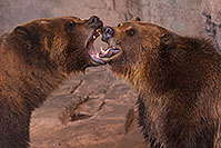 /images/133/2017-02-03-reid-grizzlies-1x_39880.jpg - #13614: Grizzly Bears at Reid Park Zoo … February 2017 -- Reid Park Zoo, Tucson, Arizona