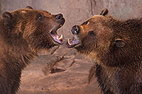 /images/133/2017-02-03-reid-grizzlies-1x_39957.jpg - #13615: Grizzly Bears at Reid Park Zoo … February 2017 -- Reid Park Zoo, Tucson, Arizona