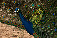 /images/133/2017-02-03-reid-peacocks-1x_40567.jpg - #13619: Peacock at Reid Park Zoo … February 2017 -- Reid Park Zoo, Tucson, Arizona