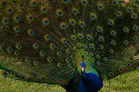 /images/133/2017-02-03-reid-peacocks-1x_40600.jpg - #13620: Peacock at Reid Park Zoo … February 2017 -- Reid Park Zoo, Tucson, Arizona