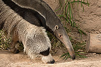 /images/133/2017-02-05-reid-anteaters-1x_41098.jpg - #13626: Giant Anteater at Reid Park Zoo … February 2017 -- Reid Park Zoo, Tucson, Arizona