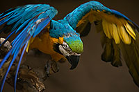 /images/133/2017-02-05-reid-macaw-1x_40995.jpg - #13628: Blue-and-Gold Macaw at Reid Park Zoo … February 2017 -- Reid Park Zoo, Tucson, Arizona