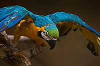 /images/133/2017-02-05-reid-macaw-1x_40996.jpg - #13629: Blue-and-Gold Macaw at Reid Park Zoo … February 2017 -- Reid Park Zoo, Tucson, Arizona
